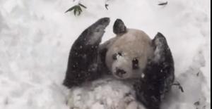 Dev panda Tian Tian'ın kar sevinci