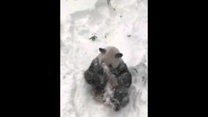 Dev panda Tian Tian